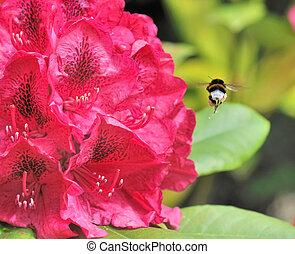bumblebee full of pollen - Bumblebee full of pollen near a...