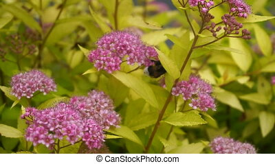 Bumblebee gathers pollen from the flowers