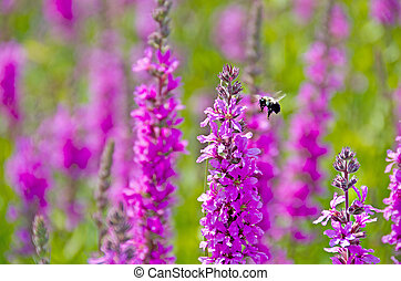 bumblebee in purple loosestrife - Bumblebee hovering over a...