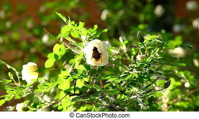 bumblebee in rose flower on bush