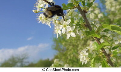 bumblebee is collecting the pollen on cherry flowers against...
