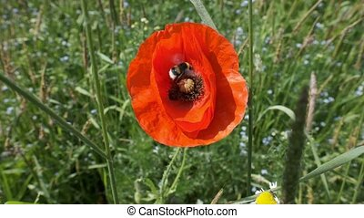 Bumblebee lands on a poppy
