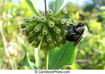 Bumblebee of green milkweed - A bumblebee sitting on the...