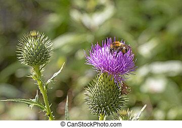 Bumblebee on a beautiful burdock purple flower