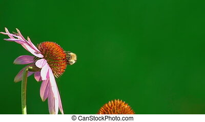 Bumblebee collects nectar on a pink Echinacea flower, slow motion
