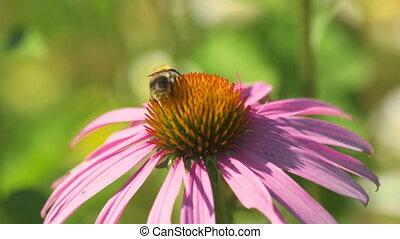Bumblebee on a Echinacea flower
