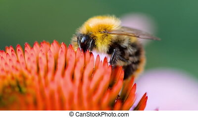 Bumblebee on a Echinacea flower