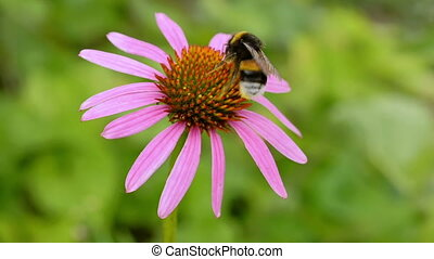 Bumblebee on a flower echinacea.