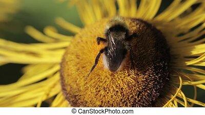 Bumblebee on a flower macro shot