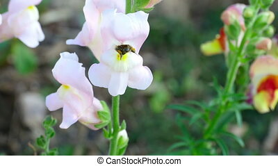 Bumblebee on a flower snapdragon