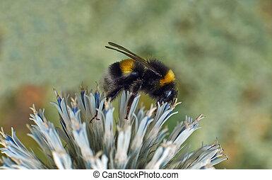 Bumblebee on a flowers Echinops sphaerocephalus.