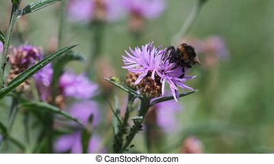 Bumblebee on a knapweed