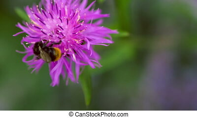 Bumblebee on a lila knapweed flower, blurry background