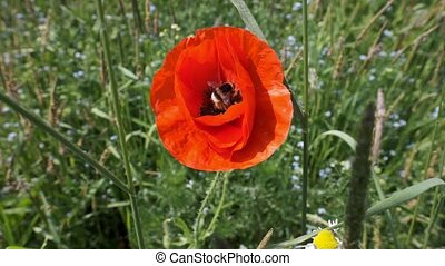Bumblebee on a poppy and fly away