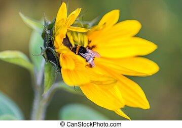 Bumblebee on a sunflower in autumn