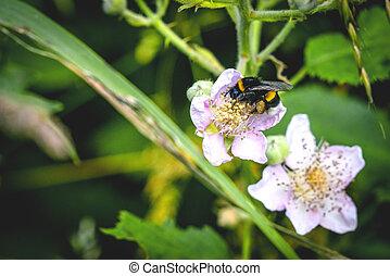 Bumblebee on a white flower in a garden