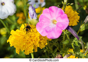 Bumblebee on a yellow flower close up
