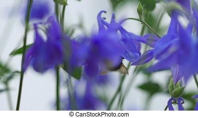 Bumblebee on a purple aquilegia flower, macro