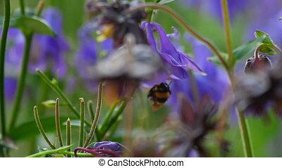 Bumblebee on aquilegia flower