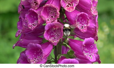 Bumblebee on beautiful  foxglove flowers blossoms