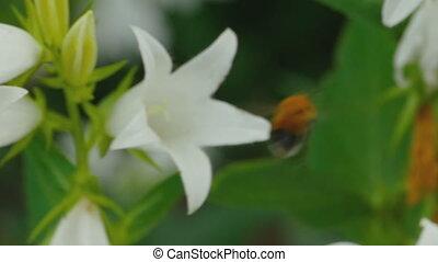 Bumblebee on Campanula flower - Bumblebee on flower of...