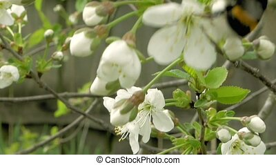Bumblebee on cherry blossom flowers - Bumblebee flies to...