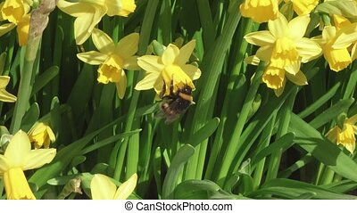 Bumblebee on Daffodils - Big bumblebee collects pollen on...