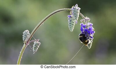 Bumblebee on flowers in meadow