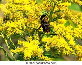 Bumblebee on Goldenrod flowers
