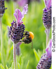 Bumblebee on lavender blossom in detail