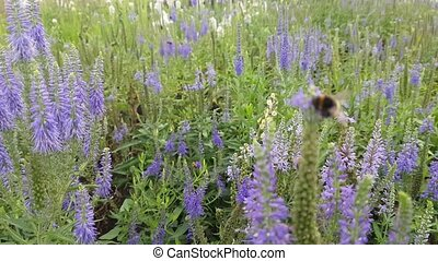 Bumblebee on lavender - Bumblebee Gathering Pollen Of A...