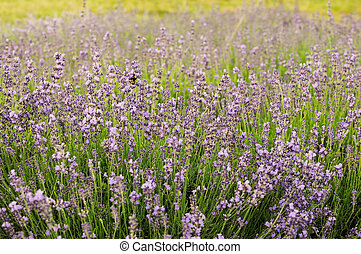 Bumblebee on lavender, Krakow, Poland
