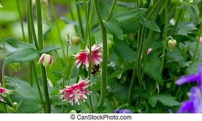 Bumblebee on pink Aquilegia flower