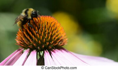 Bumblebee collecting nectar on a purple coneflower (Echinacea purpurea) swaying in the wind