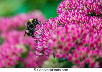 Bumblebee on Sedum (Autumn Joy) flower