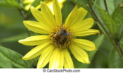 Bumblebee on Stigma and Stamen of Flower - Steady, medium ...