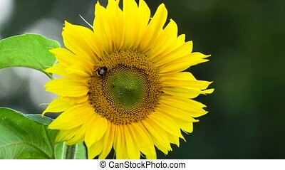 bumblebee on sunflower at sunny day