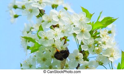 bumblebee on the flowers of apple