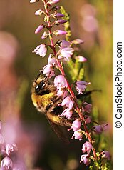 bumblebee on the flowers of heather 1