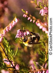 bumblebee on the flowers of heather 2