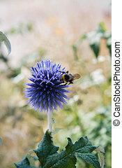 Bumblebee on The Globe thistles