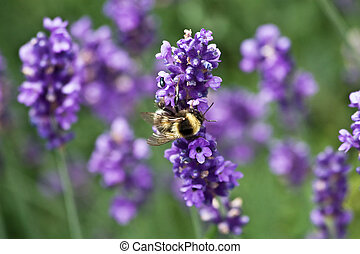 Bumblebee on the lavender