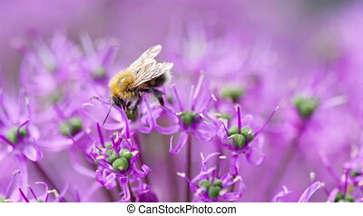 Bumblebee on the onion flower