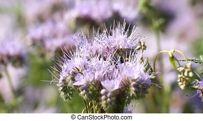 Bumblebee on the phacelia - Bumblebee and bee on the...