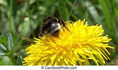 bumblebee on yellow dandelion flower