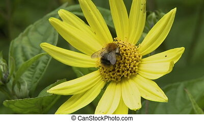 Bumblebee on Yellow Flower - Steady, medium close up shot of...