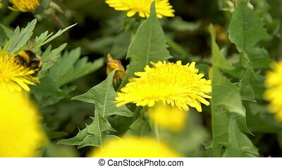 Bumblebee pollinate a dandelions flitting from flower to...