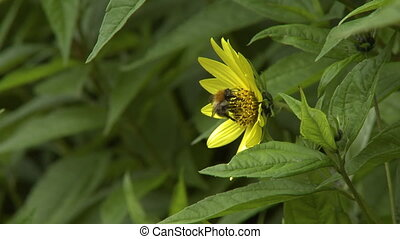 Bumblebee Pollinate Flower - Steady, close up shot of a...