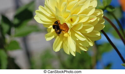 Bumblebee pollinates a pink dahlia