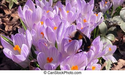 Bumblebee pollinates pink crocuses in the nature